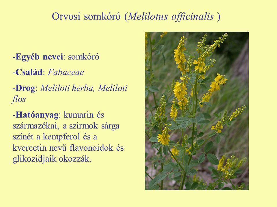Orvosi somkóró (Melilotus officinalis )
