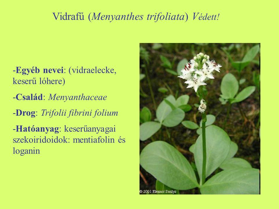 Vidrafű (Menyanthes trifoliata) Védett!