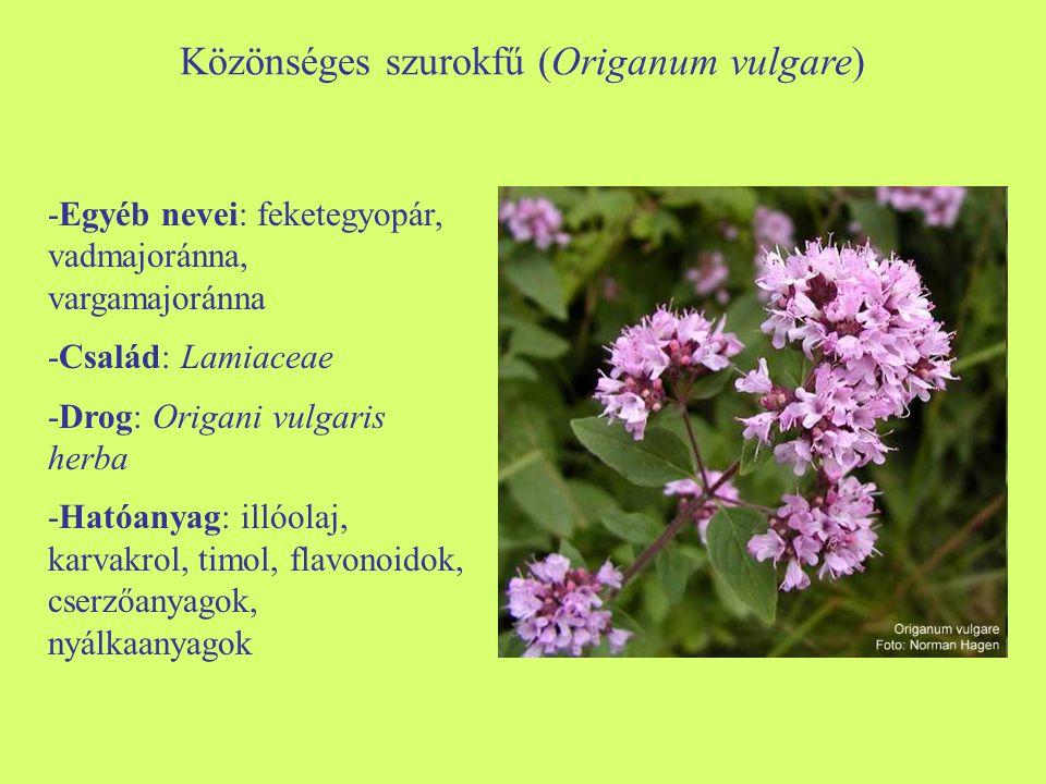 Közönséges szurokfű (Origanum vulgare)