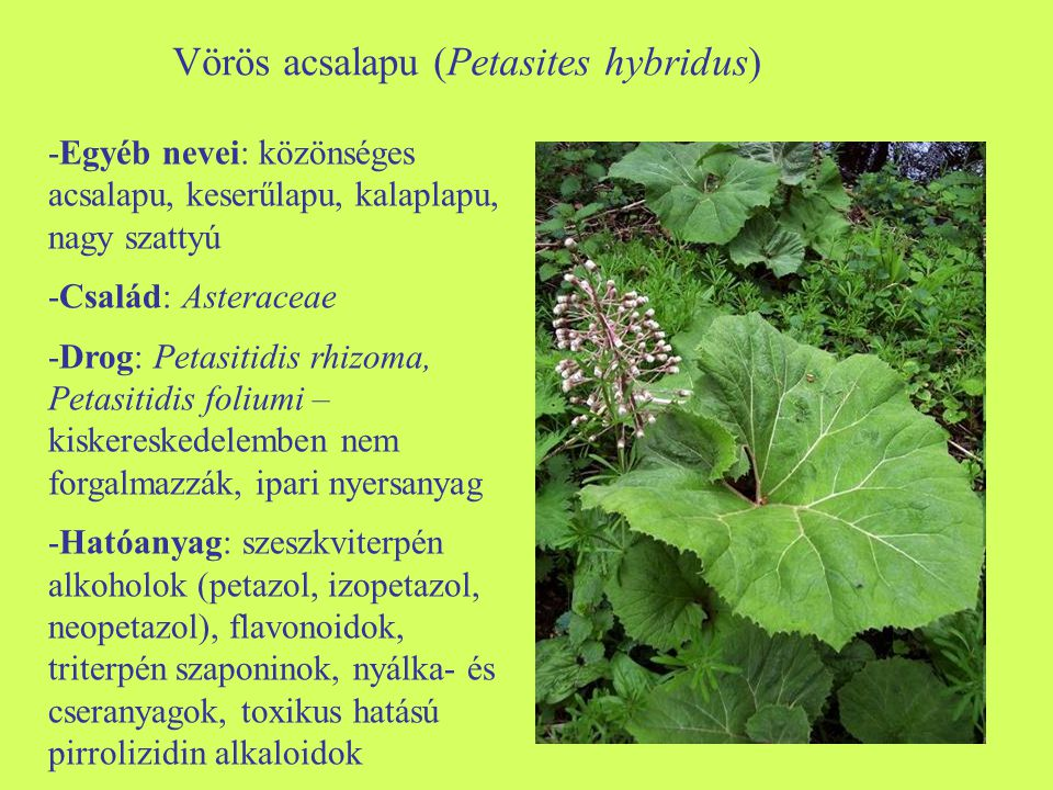 Vörös acsalapu (Petasites hybridus)