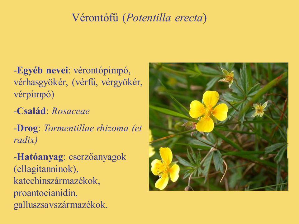 Vérontófű (Potentilla erecta)