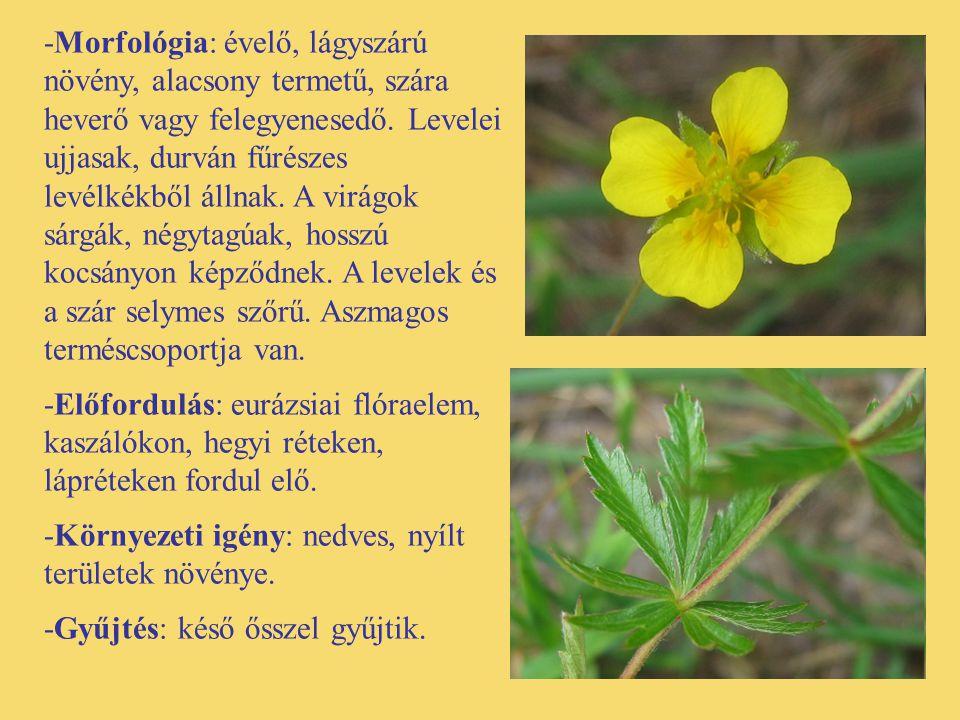 -Morfológia: évelő, lágyszárú növény, alacsony termetű, szára heverő vagy felegyenesedő. Levelei ujjasak, durván fűrészes levélkékből állnak. A virágok sárgák, négytagúak, hosszú kocsányon képződnek. A levelek és a szár selymes szőrű. Aszmagos terméscsoportja van.