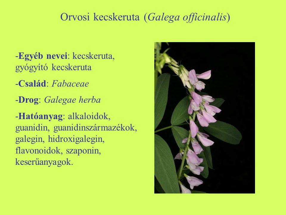 Orvosi kecskeruta (Galega officinalis)