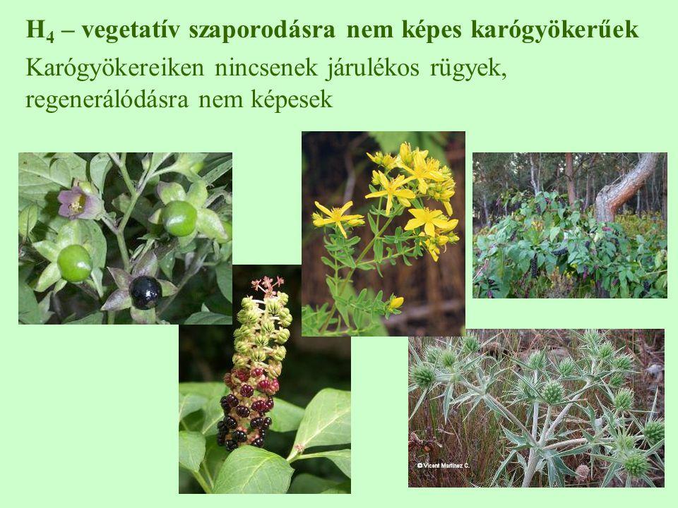 H4 – vegetatív szaporodásra nem képes karógyökerűek
