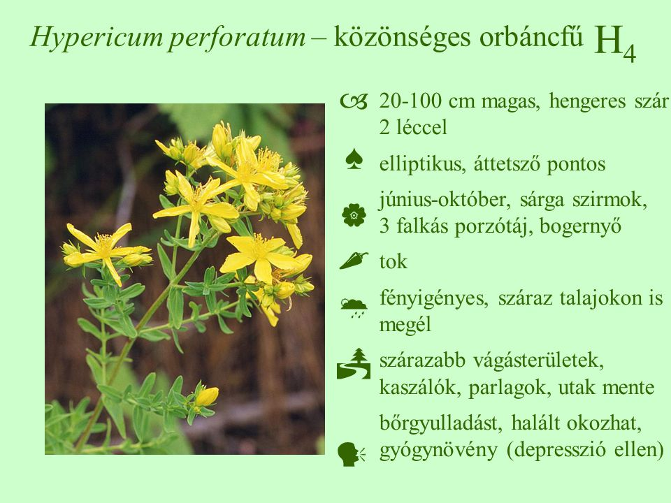 Hypericum perforatum – közönséges orbáncfű