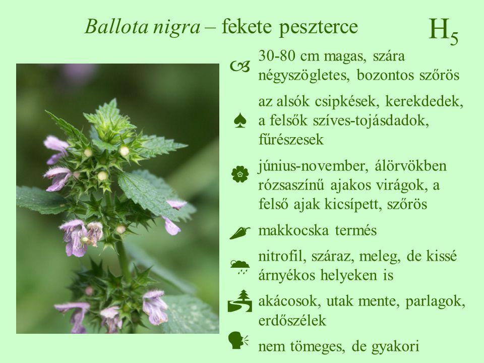 Ballota nigra – fekete peszterce