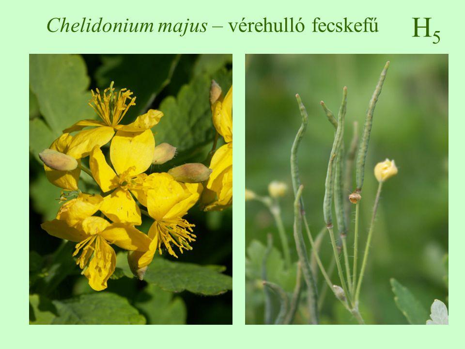 Chelidonium majus – vérehulló fecskefű