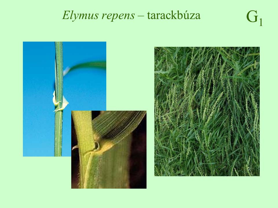 Elymus repens – tarackbúza