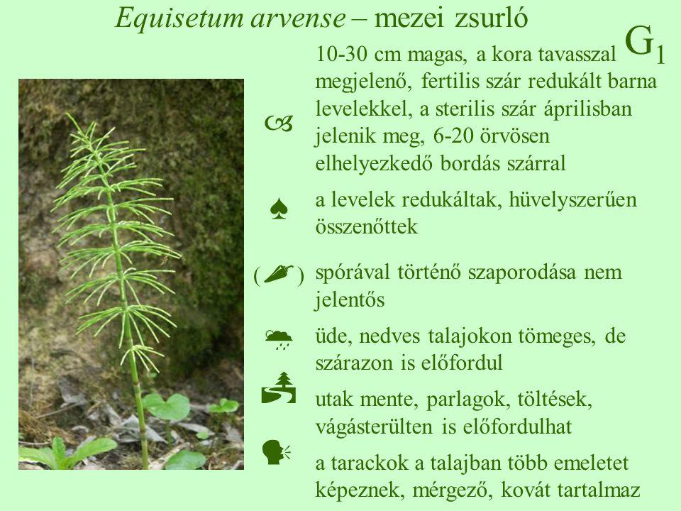 Equisetum arvense – mezei zsurló