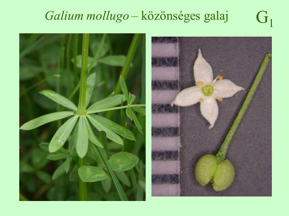 Galium mollugo – közönséges galaj