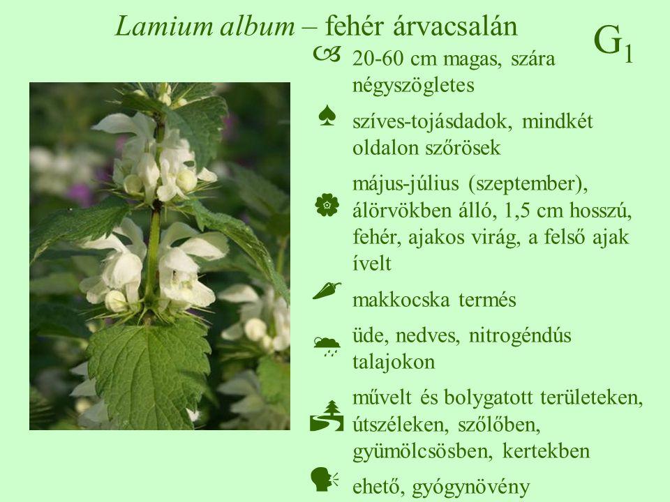 Lamium album – fehér árvacsalán