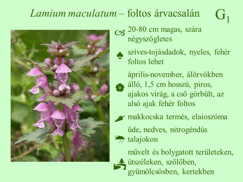 Lamium maculatum – foltos árvacsalán