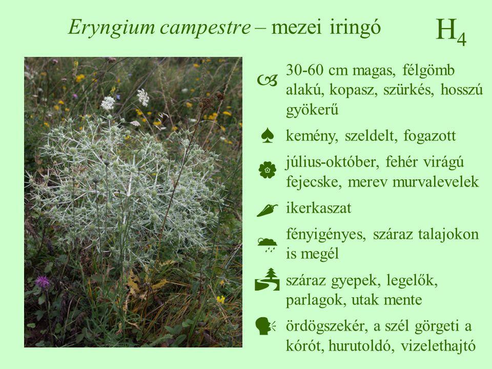 Eryngium campestre – mezei iringó
