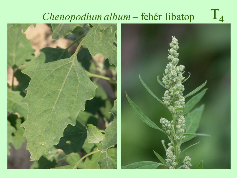 Chenopodium album – fehér libatop