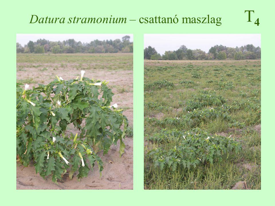 Datura stramonium – csattanó maszlag