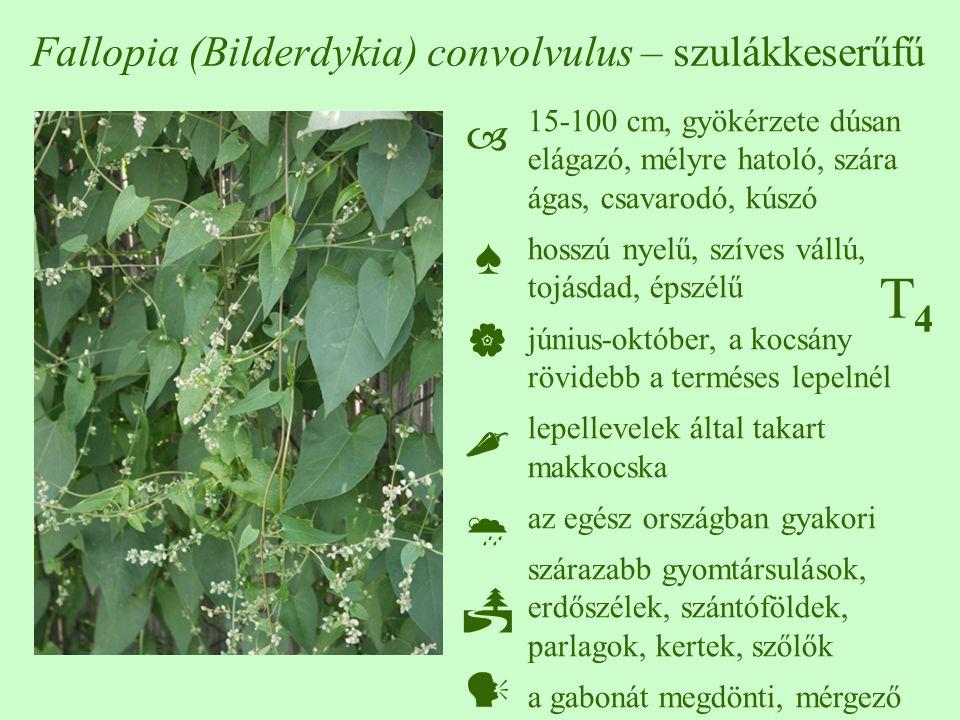 Fallopia (Bilderdykia) convolvulus – szulákkeserűfű