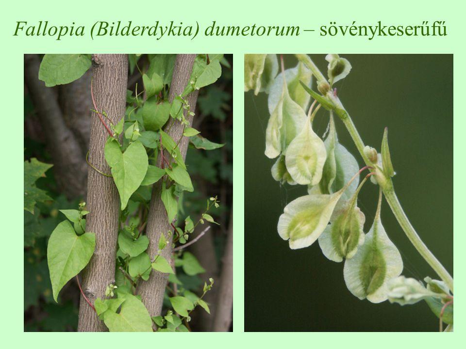 Fallopia (Bilderdykia) dumetorum – sövénykeserűfű
