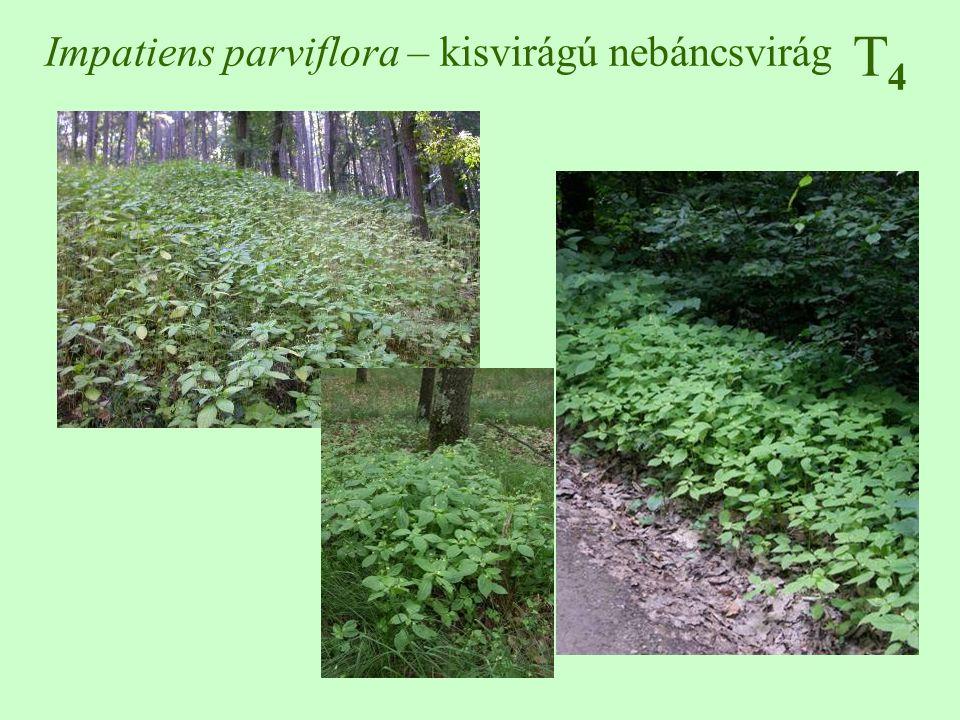 Impatiens parviflora – kisvirágú nebáncsvirág