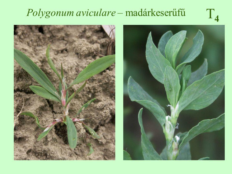 Polygonum aviculare – madárkeserűfű