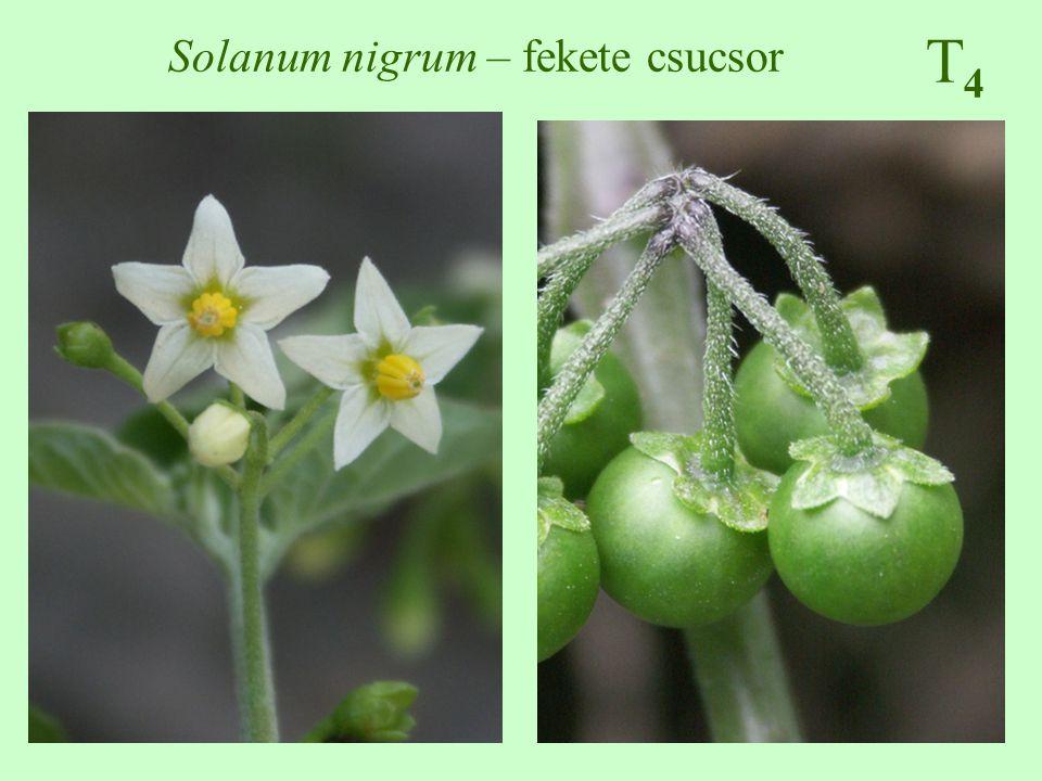 Solanum nigrum – fekete csucsor