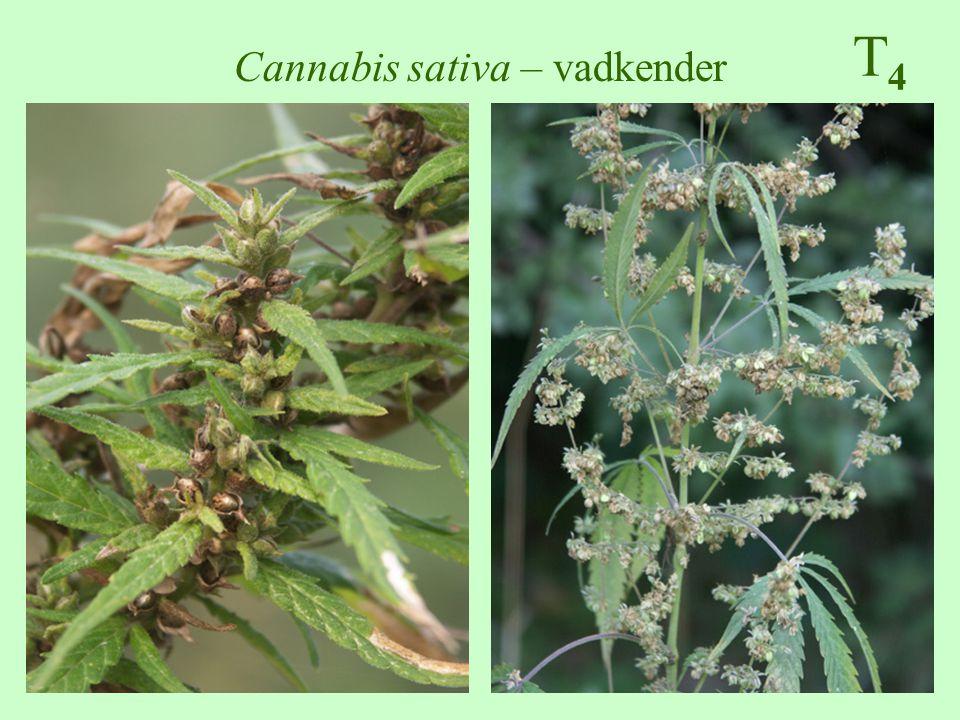 Cannabis sativa – vadkender