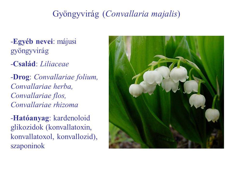 Gyöngyvirág (Convallaria majalis)