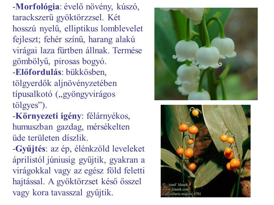 -Morfológia: évelő növény, kúszó, tarackszerű gyöktörzzsel