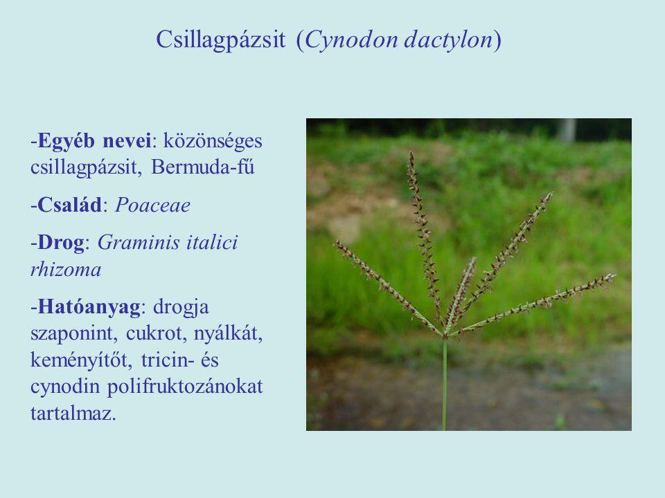 Csillagpázsit (Cynodon dactylon)