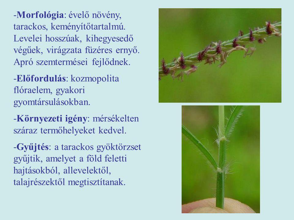 -Morfológia: évelő növény, tarackos, keményítőtartalmú