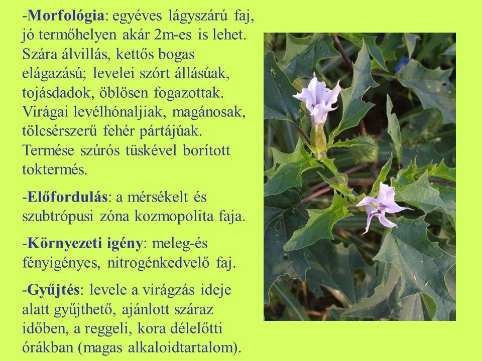 -Morfológia: egyéves lágyszárú faj, jó termőhelyen akár 2m-es is lehet