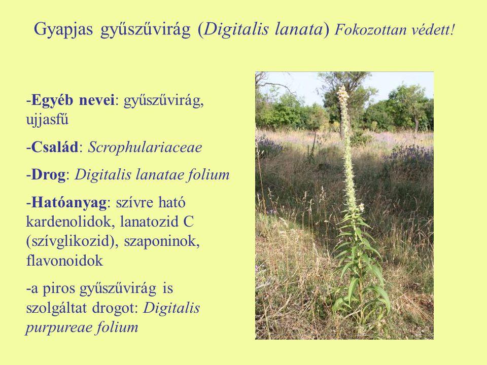 Gyapjas gyűszűvirág (Digitalis lanata) Fokozottan védett!