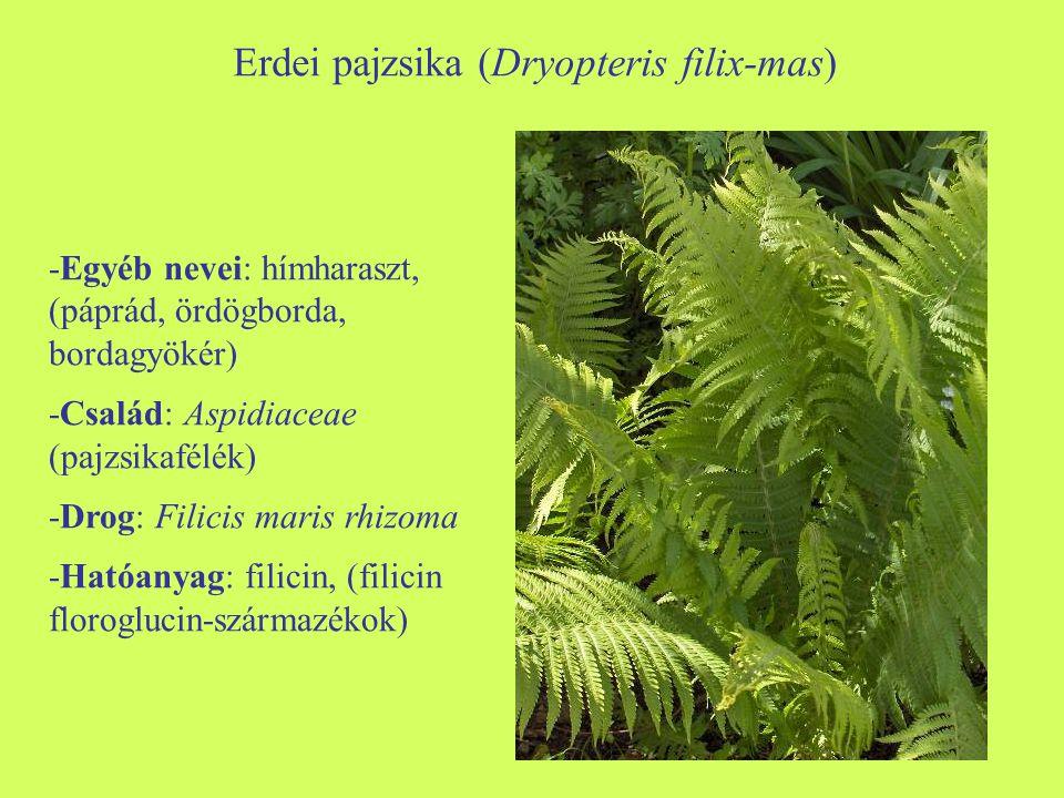 Erdei pajzsika (Dryopteris filix-mas)