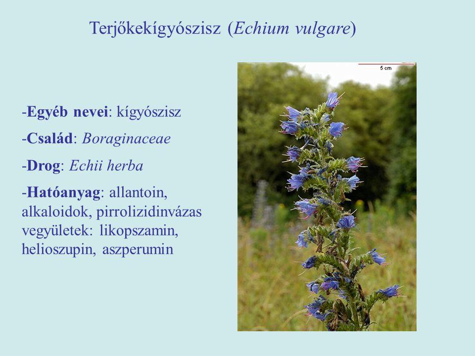 Terjőkekígyószisz (Echium vulgare)