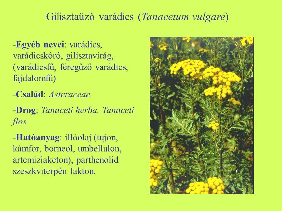 Gilisztaűző varádics (Tanacetum vulgare)