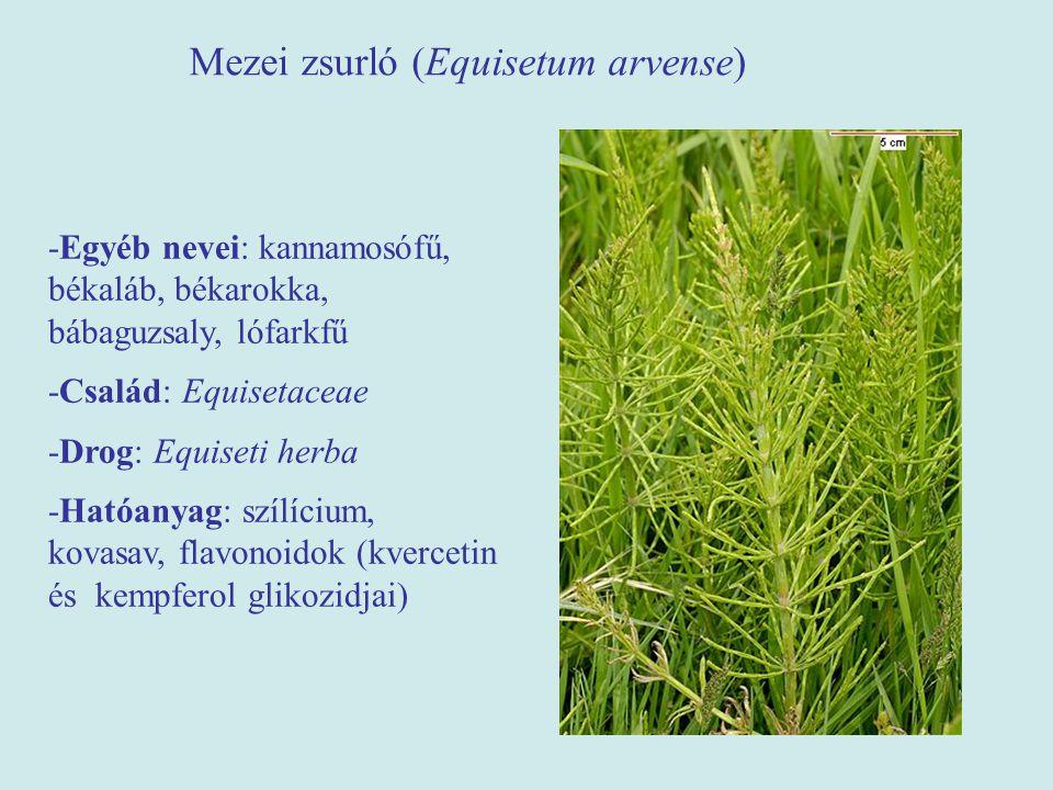 Mezei zsurló (Equisetum arvense)