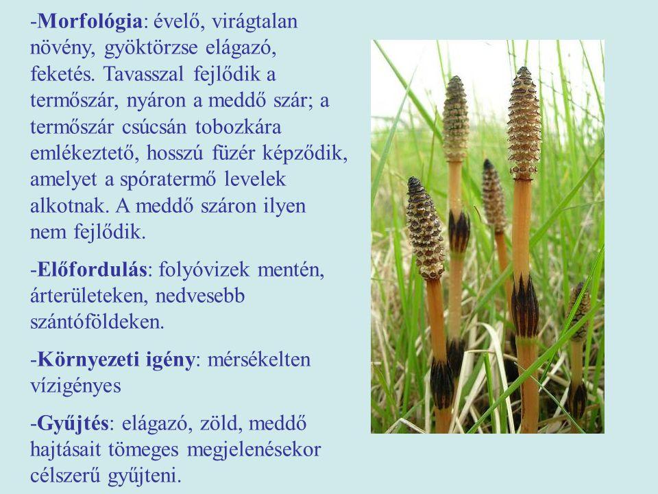 -Morfológia: évelő, virágtalan növény, gyöktörzse elágazó, feketés