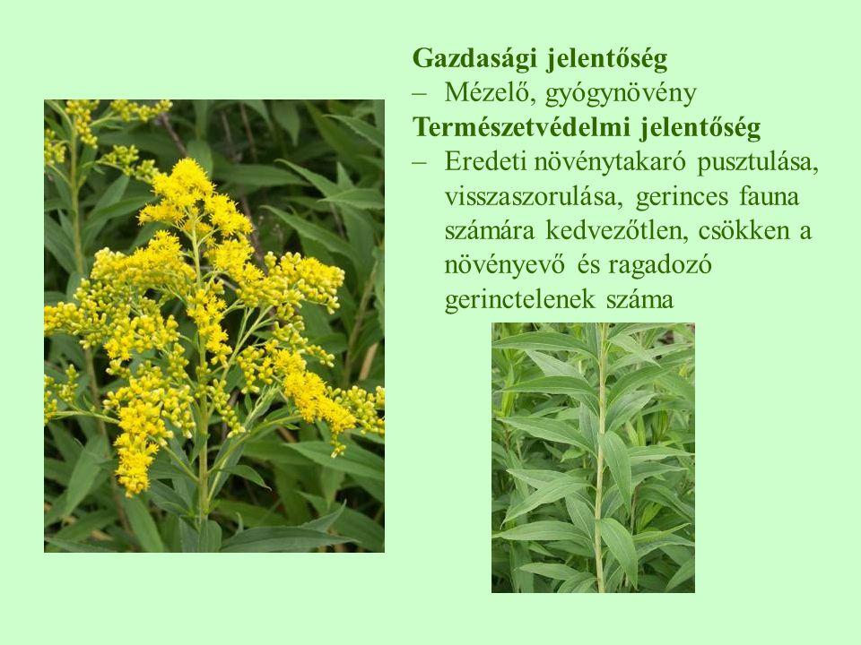 Gazdasági jelentőség Mézelő, gyógynövény. Természetvédelmi jelentőség.