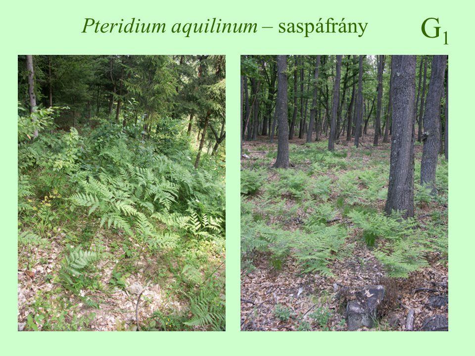 Pteridium aquilinum – saspáfrány