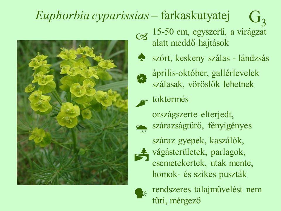 Euphorbia cyparissias – farkaskutyatej