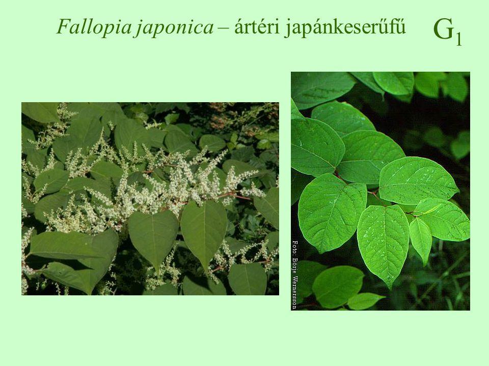 Fallopia japonica – ártéri japánkeserűfű
