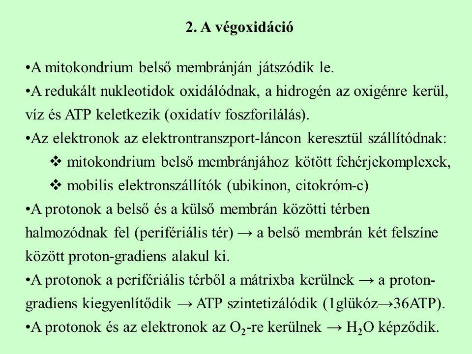 2. A végoxidáció A mitokondrium belső membránján játszódik le.