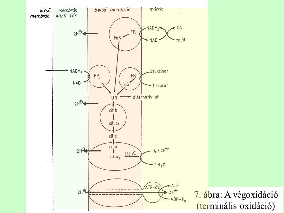 7. ábra: A végoxidáció (terminális oxidáció)