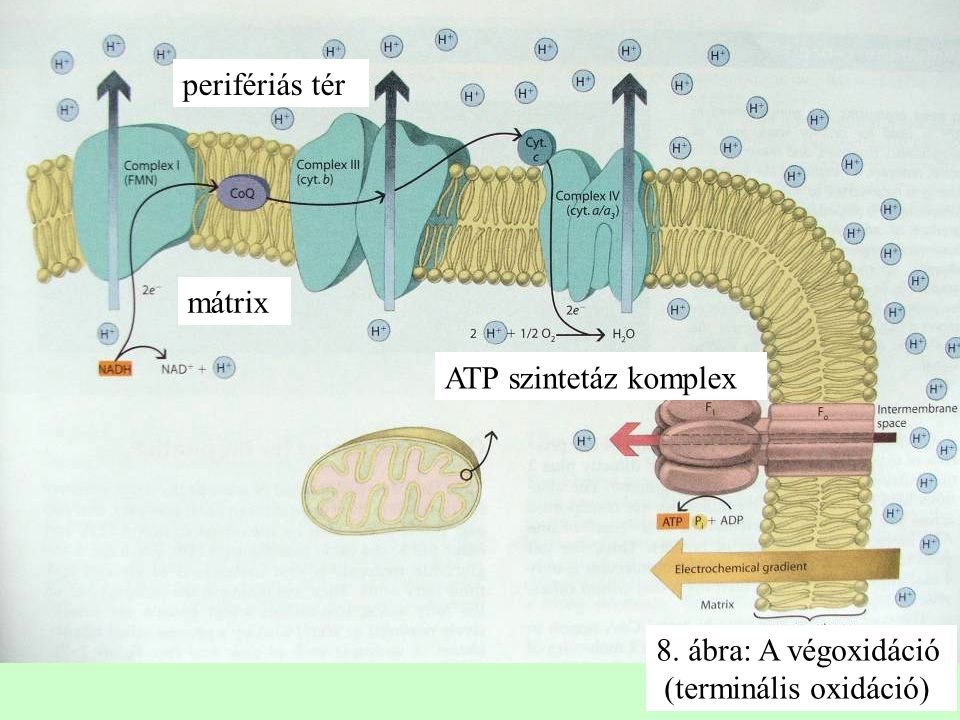 perifériás tér 8. ábra: A végoxidáció (terminális oxidáció) ATP szintetáz komplex mátrix