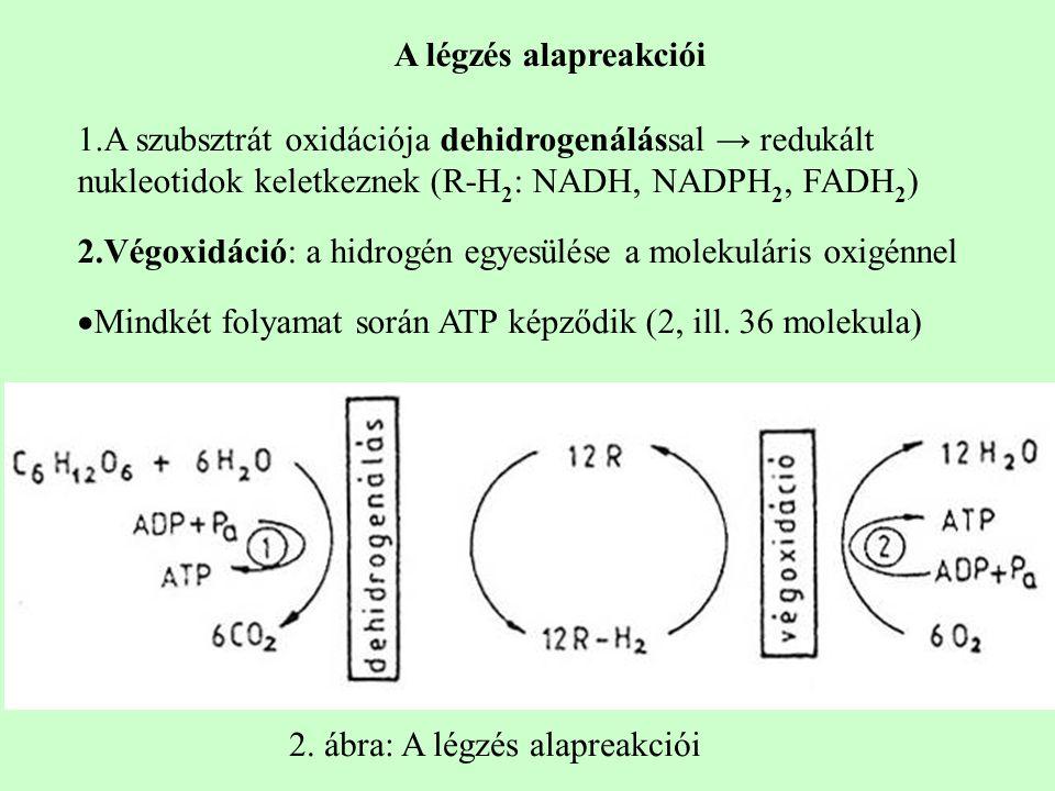 A légzés alapreakciói A szubsztrát oxidációja dehidrogenálással → redukált nukleotidok keletkeznek (R-H2: NADH, NADPH2, FADH2)