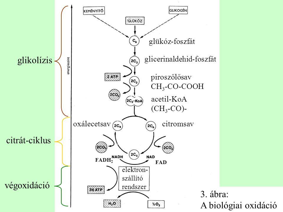 glikolízis citrát-ciklus végoxidáció 3. ábra: A biológiai oxidáció