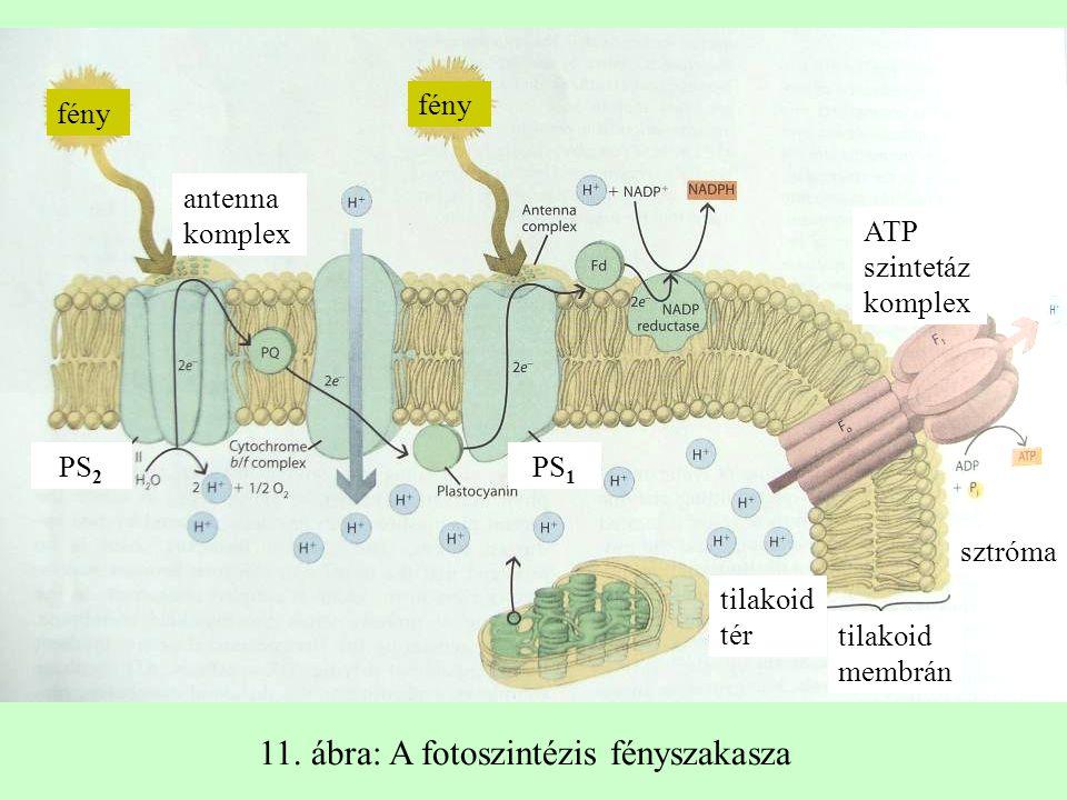 11. ábra: A fotoszintézis fényszakasza