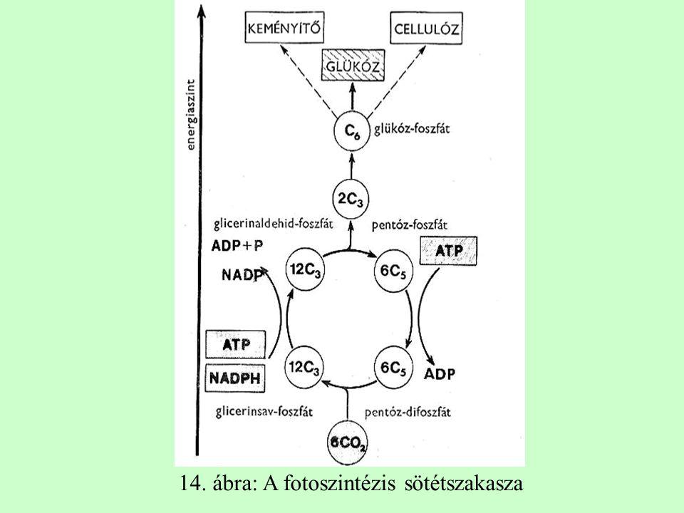 14. ábra: A fotoszintézis sötétszakasza