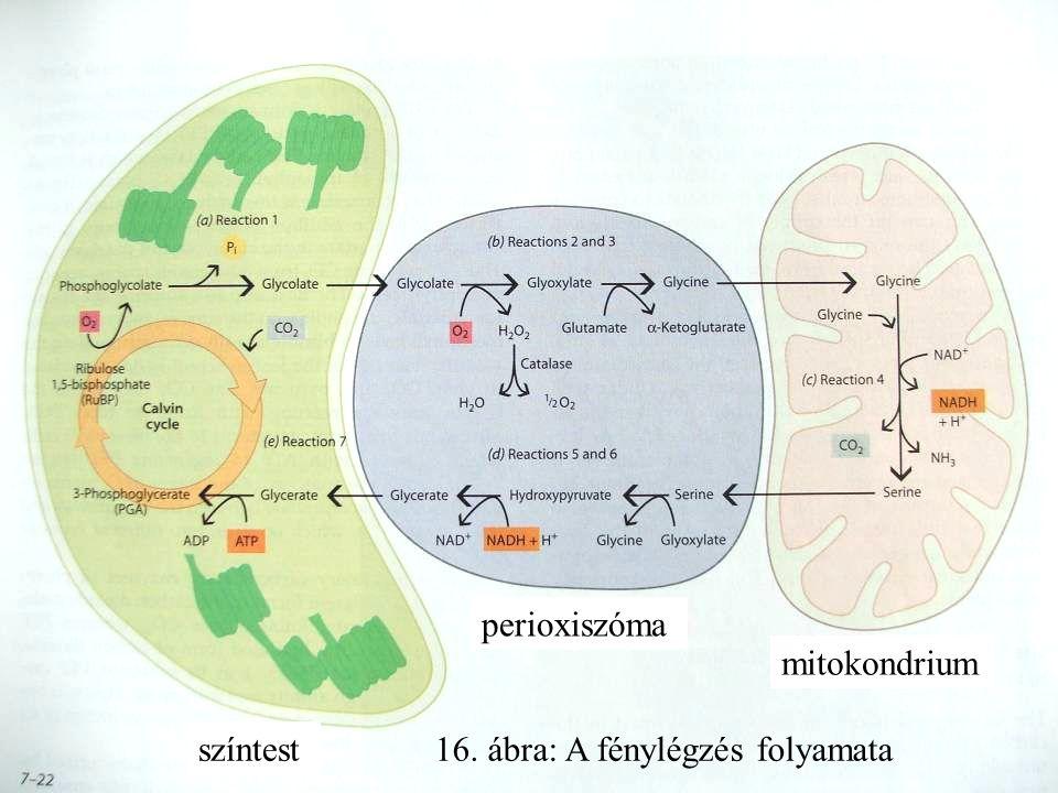 színtest perioxiszóma mitokondrium 16. ábra: A fénylégzés folyamata
