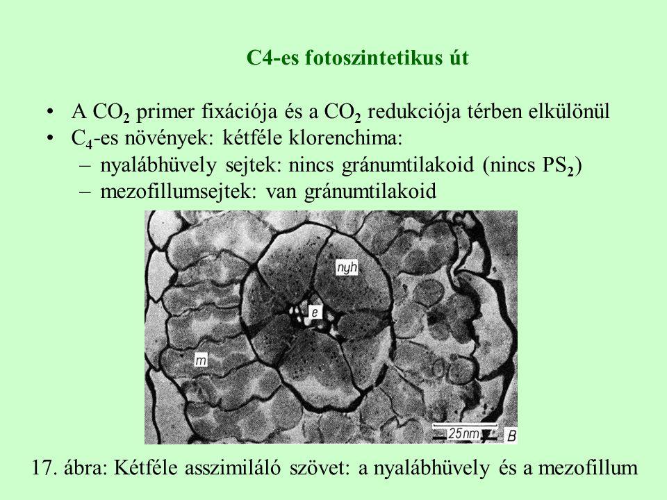 C4-es fotoszintetikus út