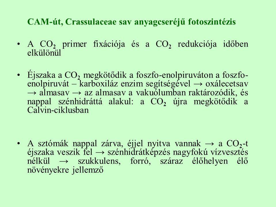 CAM-út, Crassulaceae sav anyagcseréjű fotoszintézis